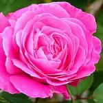 rose-62